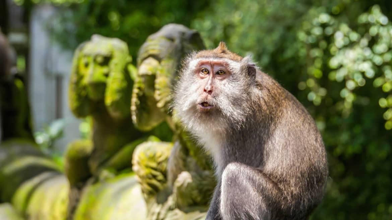 Monkeys in the Ubud Forest - Bali Holiday Secrets